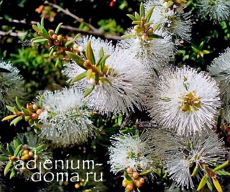 Melaleuca LANCEOLATA Мелалеука ланцетная 3