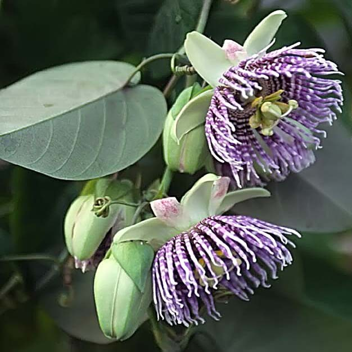 Passiflora LIGULARIS Пассифлора язычковая 1