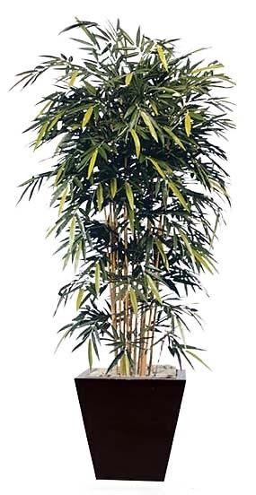 Dendrocalamus STRICTUS Male Bamboo Solid Бамбук прямой Дендрокаламус 1