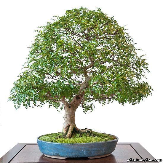 Zanthoxylum PIPERITUM Перец японский Перечное дерево 2