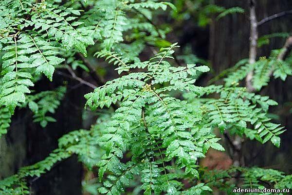 Zanthoxylum PIPERITUM Перец японский Перечное дерево 3