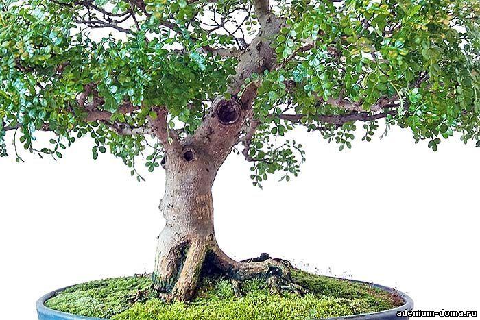 Zanthoxylum PIPERITUM Перец японский Перечное дерево 4