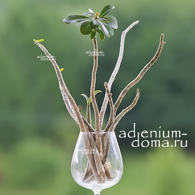 Ветка Adenium Obesum DOUBLE & TRIPLE MIX 1