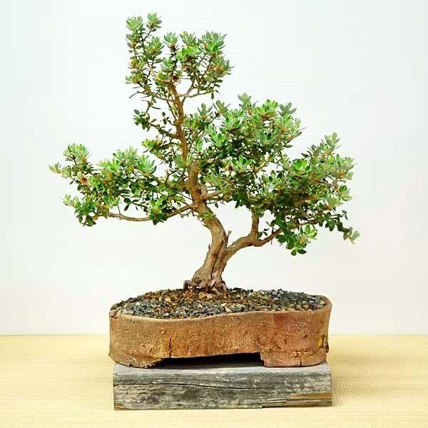 Чайное дерево в домашних условиях