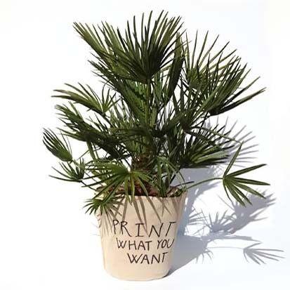 Trachycarpus FORTUNEI - Трахикарпус Форчуна в горшке