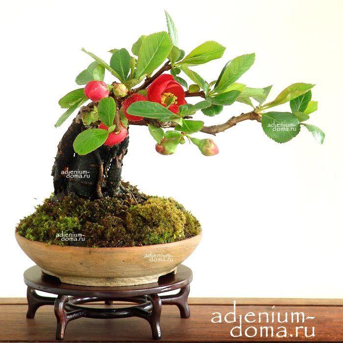 Айва японская уход в домашних условиях