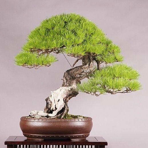 Pinus DENSIFLORA Сосна густоцветковая густоцветная 1