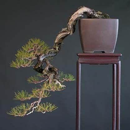 Pinus DENSIFLORA Сосна густоцветковая густоцветная 2